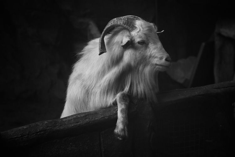 Goat by fence at farm