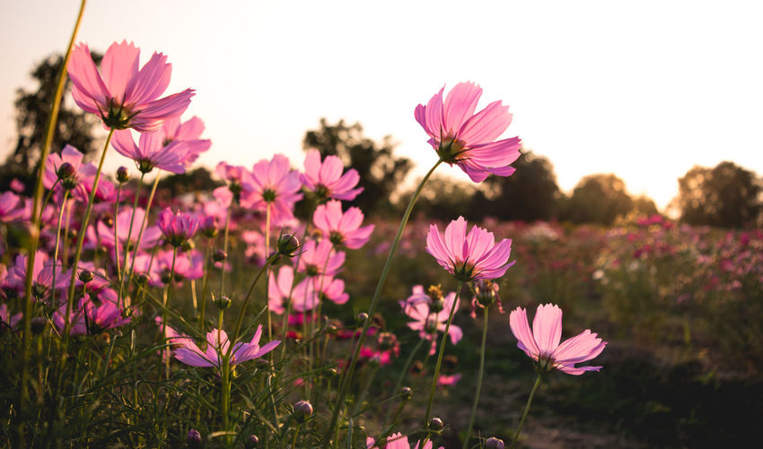 Beauty In Nature Close-up Cosmos Flower Day Field Flower Flower Head Flowering Plant Focus On Foreground Fragility Freshness Growth Inflorescence Land Nature No People Outdoors Petal Pink Color Plant Pollen Purple Vulnerability