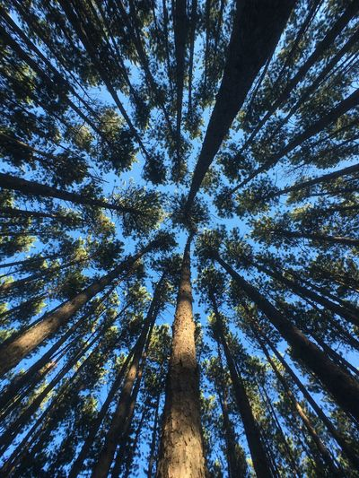 Backgrounds Beauty In Nature Branch Day Directly Below Forest Green Color Growth Low Angle View Nature No People Outdoors Pinaceae Pine Tree Scenics Sky Tall Tranquil Scene Tranquility Tree Tree Area Tree Canopy  Tree Trunk WoodLand