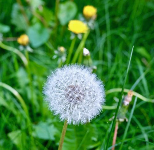 Beauty In Nature Close-up Dandelion Flower Focus On Foreground Fragility Freshness Growth Inflorescence Nature Outdoors Plant