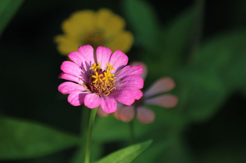 Zinnias, Flowers Flower Petal Fragility Nature Beauty In Nature Flower Head Freshness Focus On Foreground One Animal No People Zinnia  Pink Color Plant Outdoors Growth Close-up Blooming Pollen Day Yellow