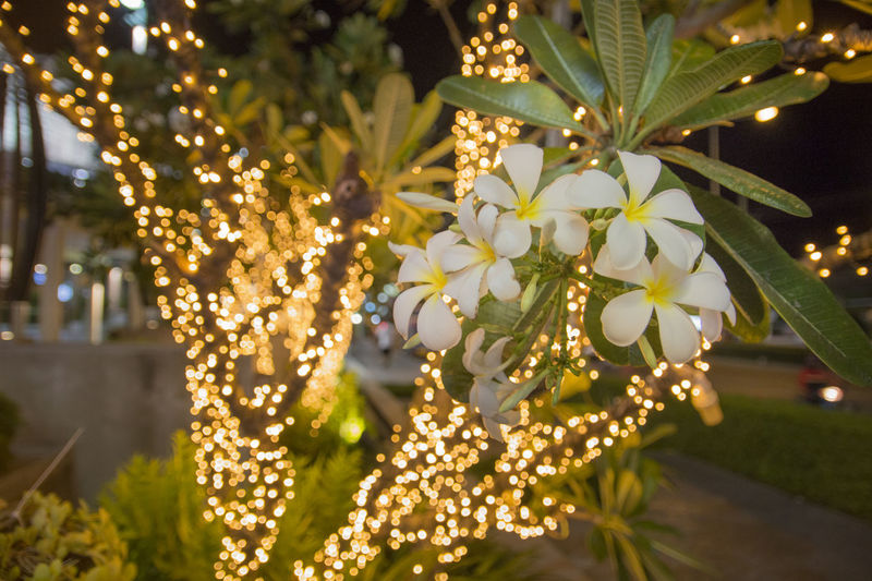 Sprig of White Frungipani flower with Bokeh light Beauty In Nature Bokeh Lights Close-up Flower Frungipani Melia Nature Night Plant Plumaria Sprig Tree White