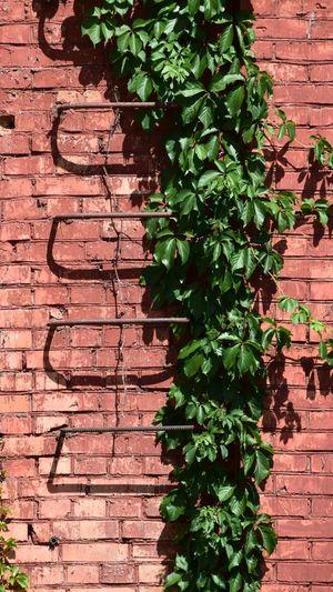 Ivy Leaf Brick