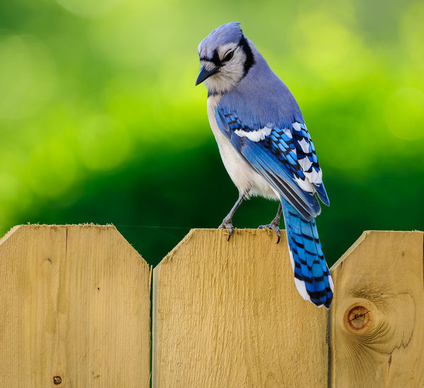 Blue Jay Animal Wildlife Animals In The Wild Bird Blue Jay Day Focus On Foreground Nature No People One Animal Outdoors Perching Wood - Material