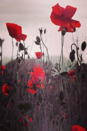 Poppys Poppy Poppy Flowers Poppy Fields Flowering Plant Wild Flowers Red Color Copy Space Copyspace Background Texture Nature_collection Nature Photography Naturelovers Flower Head Flower Poppy Red Winter Tree Petal Sky Close-up Plant In Bloom Plant Life Blooming Blossom Stamen Botany Pistil Iris - Plant
