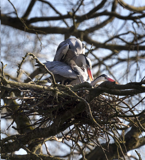 A pair of Heron's , Grey Heron's mating on a nest located high in trees. Egrets Herons Mating Nesting Animal Themes Animal Wildlife Ardea Cinerea Bird Copulating European Heron Grey Heron On The River Shore Heron Heron's Mating Mating Season Mestia Nature Nest Outdoors Perching Reproducing Tree Tree Nest