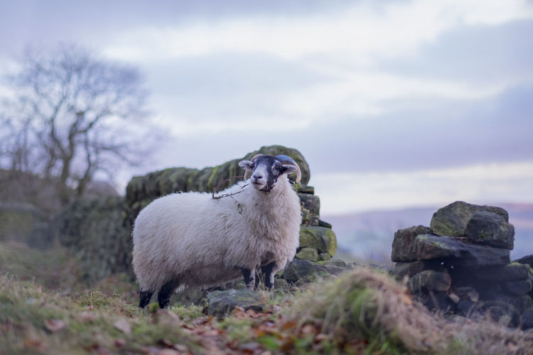 Cloudy Day Farm Animals Wildlife & Nature Yorkshire Beauty In Nature Courage Majestic Outdoors Sheep Todmorden Wildlife