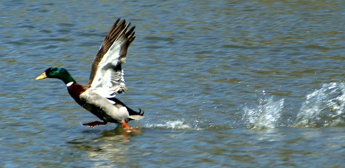 Duck Photography Ducks😄 Ducks Flying Ducks At The Lake Ducks In Water Ducks Unlimited  DUCKS :) Taking Photos Check This Out Getty X EyeEm Images Eyeemphotography Eyeemphotography Phonephotography Photography #photo #photos #pic #pics #tagsforlikes #picture #pictures #snapshot #art #beautiful #instagood #picoftheday #photooftheday #color #all_shots #exposure #composition #focus Capture Moment [ Showcase April Getty & Eyeem First Eyeem Photo Getty Images EyeEm Gallery Epic Shot Photography Getty+EyeEm Collection Photography Check This Out EyeEm Best Shots Epic Pics EpicShotPhotography Be. Ready. Perspectives On Nature Rethink Things EyeEmNewHere