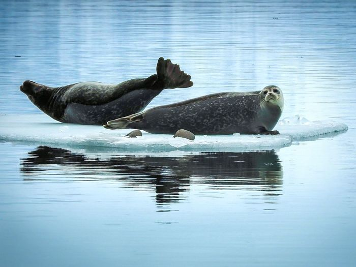 Seals laying on ice in jokulsarlon lagoon