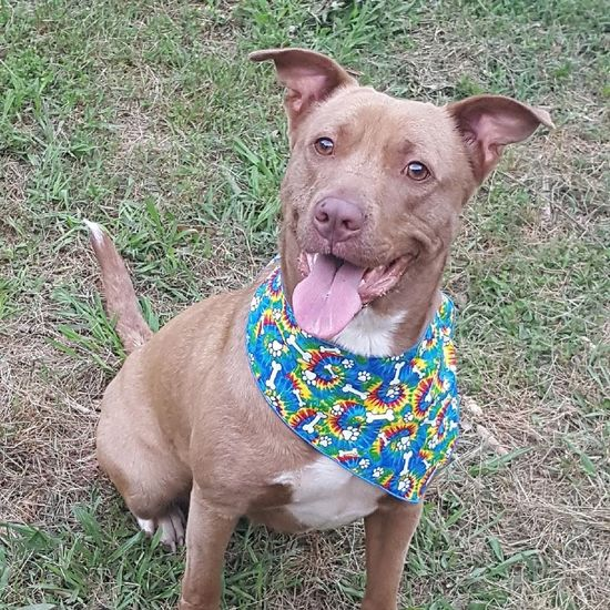 Honey and her new bandana Dog Pets Domestic Animals Animal Themes One Animal Mammal Grass Pit Bull Terrier Pet Collar Outdoors Day Pet Leash Portrait Looking At Camera Sitting Pet Clothing No People Love Where You Live Spartanburg, SC Springtime Honey Pitbulllivesmatter Pitbullmom
