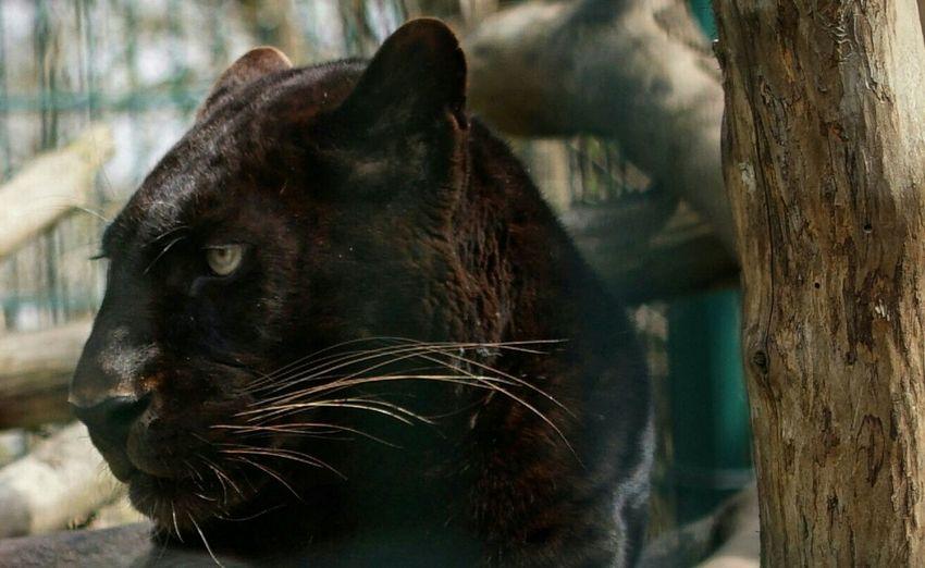 Nature's Diversities Panther Capture The Moment EyeEm Animal Lover Eyeemphotography Animal Themes One Animal Animal Photography Animal Head  Closeup The 2016 EyeEm Awards
