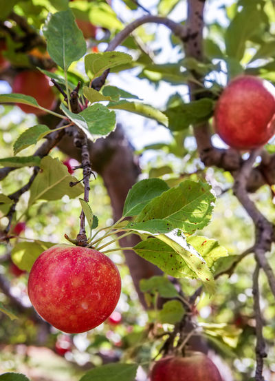 Apple in a Tree Fruit Healthy Eating Apple - Fruit Apple Tree Outdoors Tree Fruit Tree Picking Apples Apple Tree Farm Apple Farm No People Ripe Branch Nature Focus On Foreground Plant Growth Food And Drink Close-up