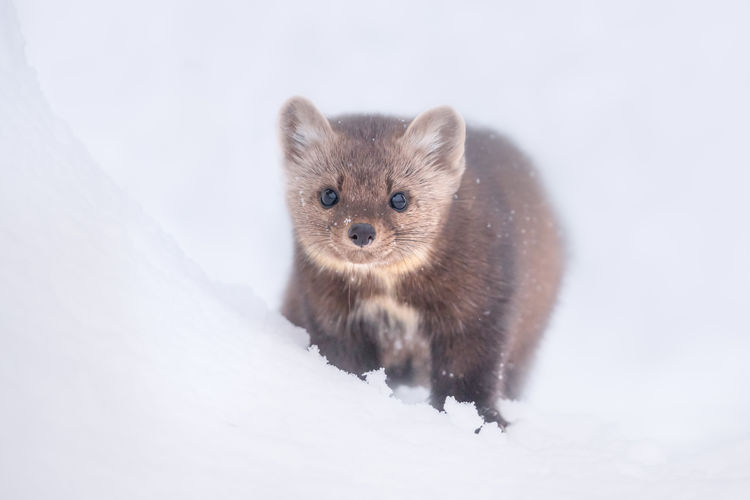 An American Marten (Martes americana), also known as a Pine Marten, in the snow on Hudson Bay Mountain near Smithers in Northern British Columbia. Martens normally eat small mammals such as squirrels and rodents. They are however related to the wolverine and capable of hunting much larger snowshoe hares and marmots. I was lucky enough to see this guy out of the corner of my eye while I was snowboarding. He ran down a tree well; so I boarded over, took my backpack off, got my camera out, changed out the wide angle lens for the 400mm, and waited. After sitting there quietly for a few minutes he then popped his head up again. Northern British Columbia, Canada. Snow Winter One Animal Animal Themes Cold Temperature Animal Looking At Camera Animal Wildlife Mammal Portrait No People Animals In The Wild Cute Nature Studio Shot Rodent Full Length Vertebrate White Color Small American Marten Pine Marten Martes Americana Hudson Bay Mountain Wildlife
