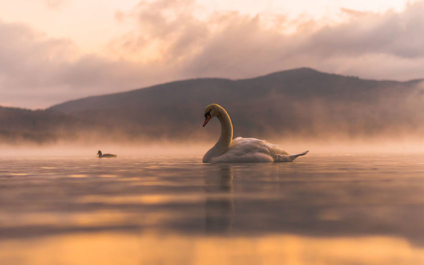 Swans swimming on lake against sky during sunset