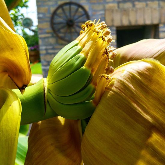 Banana 🍌 Yellow Freshness Flower Close-up Indoors  Person Green Color Vibrant Color Fragility Springtime Focus On Foreground Bunch Nature Abundance Petal Flower Head Green Botany Bananatree Banana No People Green Color Beauty In Nature Green