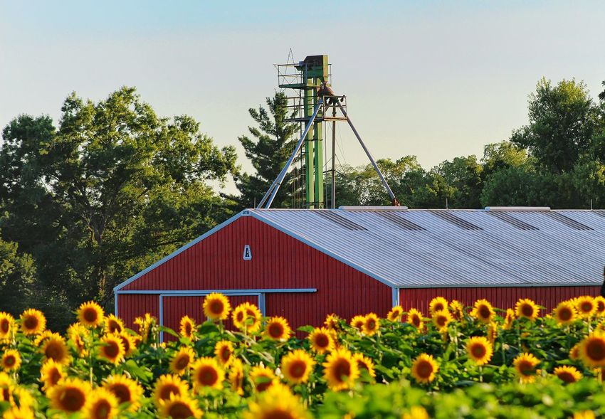 Yellow Plant Agriculture Field Kansas Grinter's Farm Canon Eos Rebel SL1 Tranquil Scene Vibrant Color Red Barn Agriculture Photography Tree No People Outdoors Rural Scene Barn In Bloom Yellow Color Clear Sky Sky Sunflower Sunflowers Live For The Story The Great Outdoors - 2017 EyeEm Awards
