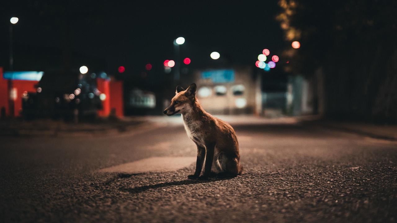 Animal Themes,  Animal Wildlife,  Canary Wharf,  Close-Up,  Fox