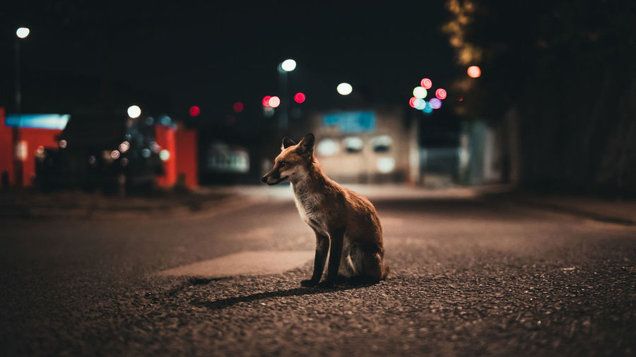Postcode Postcards EyeEm Selects Night One Animal Animal Wildlife Outdoors No People Animal Themes Mammal Fox Streetphotography London Canary Wharf Wildlife EyeEmNewHere The Great Outdoors - 2018 EyeEm Awards