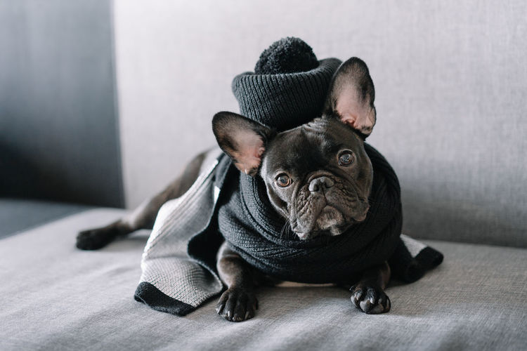 Portrait of a french bulldog
