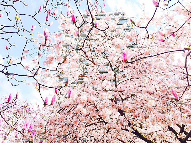 Sakura Stanly Park