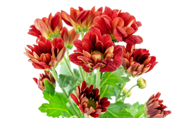 Close-up of red flowers against white background