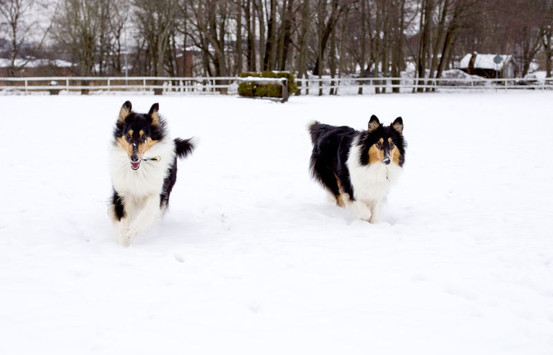 Dog walking on snow covered field