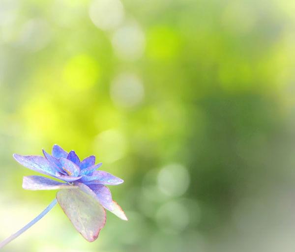 今夜は星に願いを🎋 山紫陽花 あじさい 日だまり Flower Collection EyeEm Nature Lover EyeEm Best Shots Green Nature EyeEm Gallery Eyemphotography My Point Of View EyeEm Best Shots - Nature Beauty In Nature