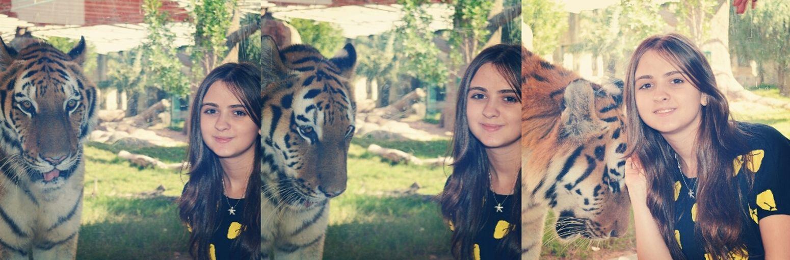 tiger❤ wonderful day! Tiger Beaitiful Zoo Abudhabi