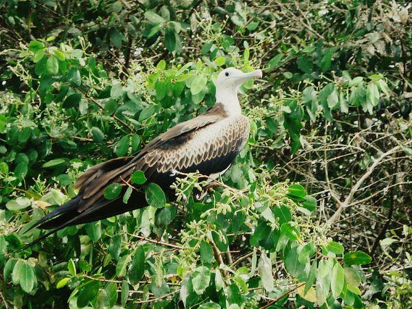J.J.D.R Aves Fragata Ecuador♥ Isla Corazón Manabi Ecuador Fauna