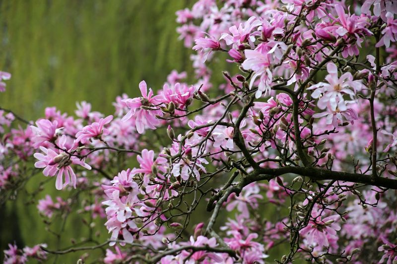 Landscape Nature Fragility Beauty In Nature Scenics Springtime Magnolia Stellata Magnolia Tree Growth Close-up Plant Freshness Almond Tree Branch Blossom Magnolia Loebneri Cloud - Sky Pink Color Magnolienknospe Magnolias Blooming