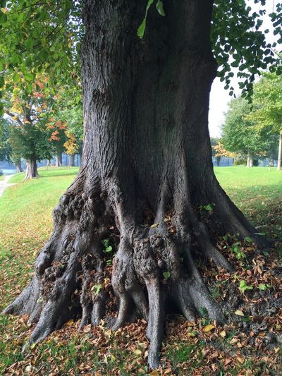 Beauty In Nature Day Engrained Enrooted Growth Nature No People Old Tree Outdoors Spreading Tranquility Tree Tree Trunk