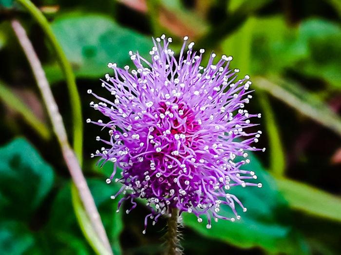 violeta Flower