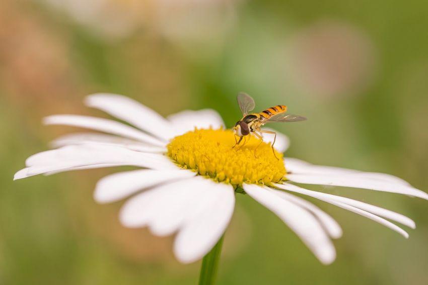 小さな蜂? EyeEm Nature Lover Bokeh Photography Spring Landscape Spring2015 The Purist (no Edit, No Filter) Pure And Untouched (raw Image) Macro Macro_collection EyeEm Macro Lover EyeEm Gallery