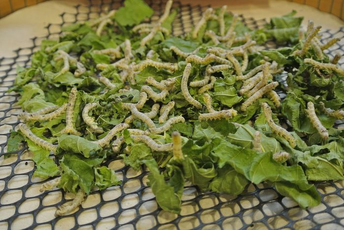 silkworms Abundance Arrangement Close-up Cocoon Focus On Foreground Food Freshness Green Color Large Group Of Objects No People Organic Raw Food Ready-to-eat Selective Focus Silk Silkworms Still Life Worms