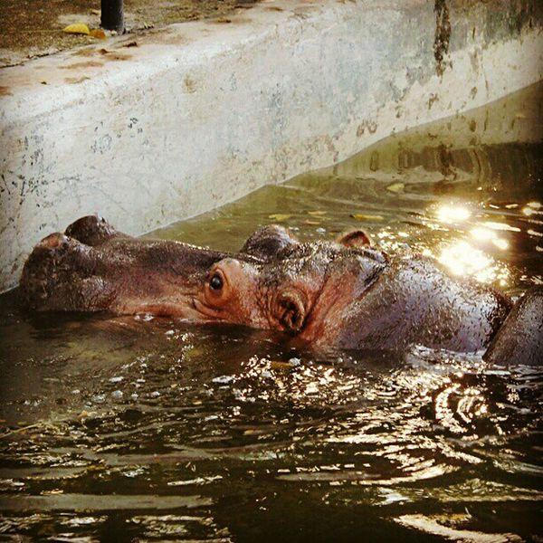 ?✔ Hipopotamó Hipo Taking Photos Animals Photography Zoo Wildlife Nature