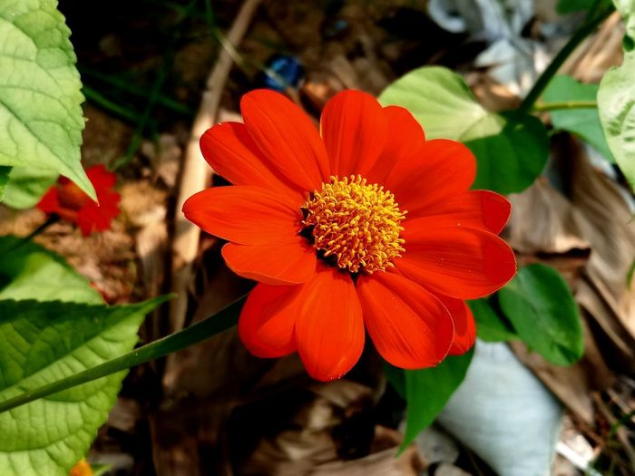 Beauty In Nature Close-up Day Flower Flower Head Flowering Plant Focus On Foreground Freshness Growth Leaf No People Plant Plant Part Red
