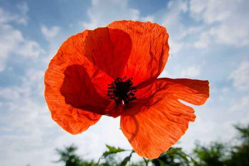 Poppy Poppy Flower Petal Flower Beauty In Nature Flowering Plant Plant Flower Head Fragility Cloud - Sky Sky No People Nature Orange Color Pollen Close-up Freshness Growth Inflorescence Vulnerability  Poppy
