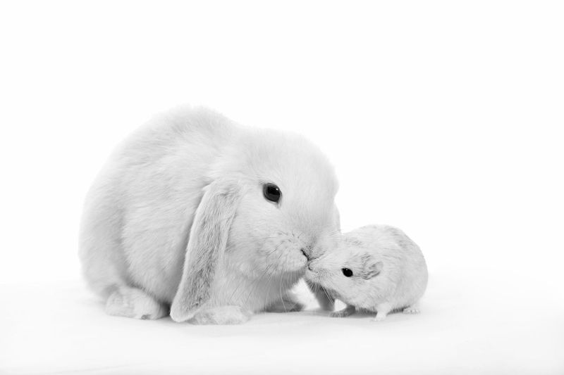 a good friend gets a kiss Best Friend Best Friends Black And White Bunny  Bunny Ears  Bunny Love Bux Bunny Cute Fine Art Photography Friends Friendship Gerbil Gerbils High Key Photography Kisses Kissing Loving Mouse Pet Pets Rabbit Rabbits Rodent Rodents Speedy Gonzalez