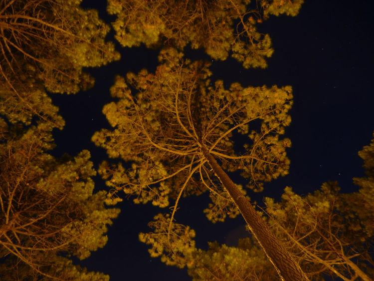 Beauty In Nature Branch Dark EyeEm Best Shots Growth Idyllic Long Exposure Low Angle View Nightphotography Pine Trees Scenics Sky Tranquil Scene Tree