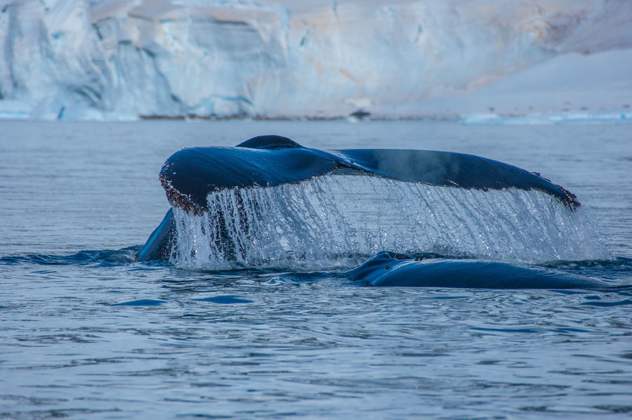 Whale Fin Whale Watching Whale Antarctica Antarctic Peninsula Snowcapped Mountain Sea Iceberg Ziseetheworld Ziwang Whale Tail Tail Fin Whale Fluke