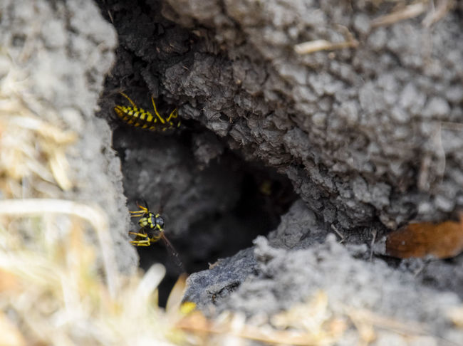 Vespula vulgaris. Destroyed hornet's nest. Drawn on the surface of a honeycomb hornet's nest. Larvae and pupae of wasps. vespula, vulgaris, wasp, mink, nest, fly, destroyed, gutted, killed, collapsed, dead, dismantled, pulled, larvae, pupae, death, excavated, sting, predator, forager, insect, striped, hymenoptera, animals, colony, insects, macro, nature, poisonous, summer, stinger, antenna, filigree, stinging, bee, hexagon, hornet, bug, wasps, chew, wing, fragility, common, pollen, laying, wood, paper, honey, arthropoda, vespiary Animal Themes Animal Wildlife Animals In The Wild Beauty In Nature Close-up Day Insect Nature No People One Animal Outdoors Selective Focus Vespula Vespula, Vulgaris, Wasp, Mink, Nest, Fly, Destroyed, Gutted, Killed, Collapsed, Dead, Dismantled, Pulled, Larvae, Pupae, Death, Excavated, Sting, Predator, Forager, Insect, Striped, Hymenoptera, Animals, Colony, Insects, Macro, Nature, Poisonous, Summer,  Vulgaris Wasp