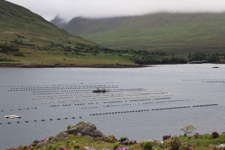 Mussel breeding in the killary harbor fjord in ireland