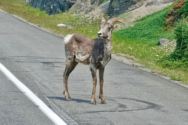 A bighorn sheep stands on the road in Jasper, Canada. Alberta Bighorn Shepp Grass Animal Themes Animal Wildlife Animals In The Wild Canada Day Jasper Mammal No People One Animal Outdoors Road Rocks Standing