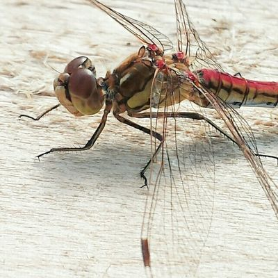 Dragonfly 💕 Insects  Critters Soulmates EyeEm Nature Lover Insectlovers Insect Photography Macro Beautiful Nature Naturewhisperers