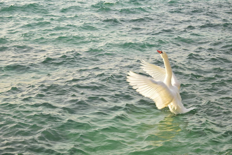 Bird Water Swimming Swan Spread Wings High Angle View