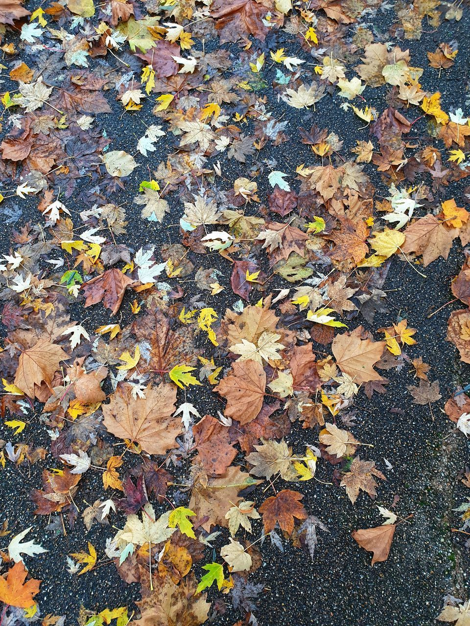 HIGH ANGLE VIEW OF MAPLE LEAVES ON FALLEN TREE DURING AUTUMN