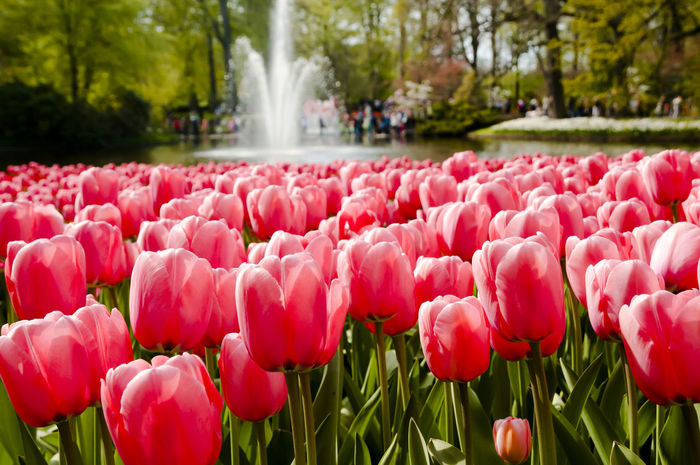 Keukenhof Garden Keukenhof Garden Netherlands Tulips Flower Flower Head Holland Keukenhof Petal