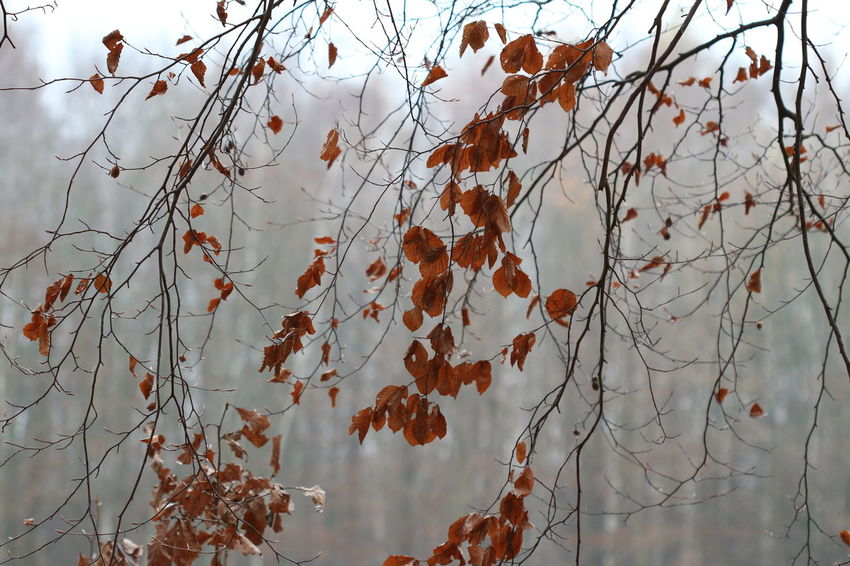 veil of branches with some last brown leaves on a misty autumn day Misty Foggy Backgrounds Texture Season  Fall Nature Forest Tree Fall Leaf Vein Leaves Change Fallen Autumn Collection Dry Fallen Leaf Leaf Autumn