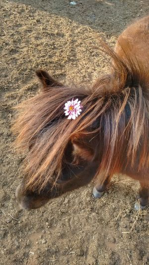 Little poney
