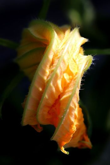 Canon800D Nature Photography Courgette Flower Flowering Plant Vulnerability  Flower Close-up Fragility Plant Freshness Botany Day Focus On Foreground Beauty In Nature Growth Petal Flower Head No People Nature Yellow The Great Outdoors - 2018 EyeEm Awards